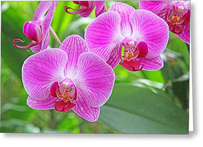 Becky Greeting Cards - Orchid beauty Greeting Card by Becky Lodes