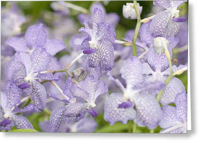 Botany Greeting Cards - Orchid Blooms Greeting Card by C Ribet