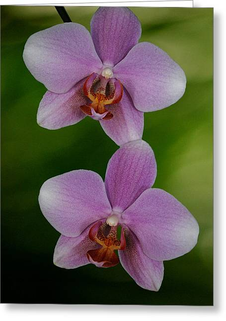 Easter Flowers Greeting Cards - Orchid Delight Greeting Card by Adele Moscaritolo