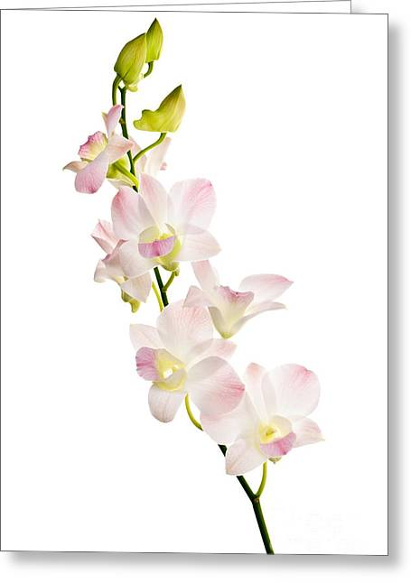 Pink Flower Branch Greeting Cards - Orchid flowers  Greeting Card by Elena Elisseeva