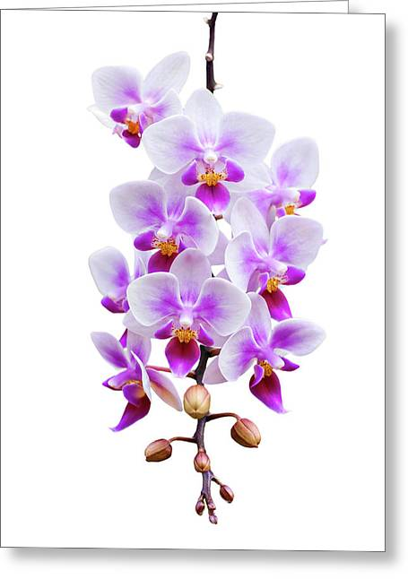 Colorful Orchid Greeting Cards - Orchid Greeting Card by Meirion Matthias