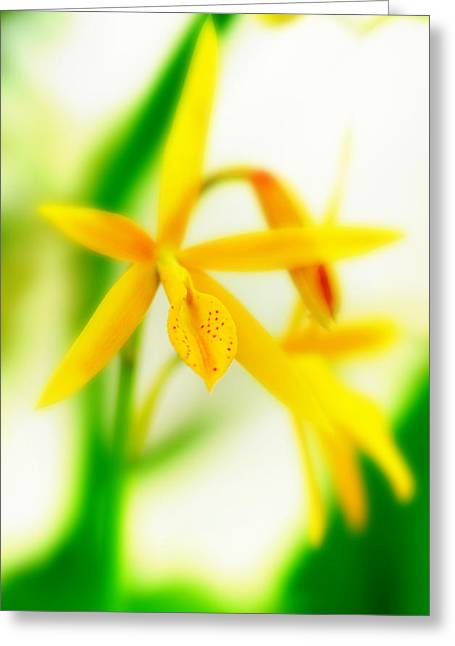 Orchid Vi Greeting Card by Floyd Menezes