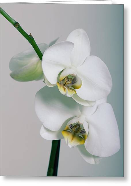 Flower Photos Pyrography Greeting Cards - Orchidee Greeting Card by Falko Follert