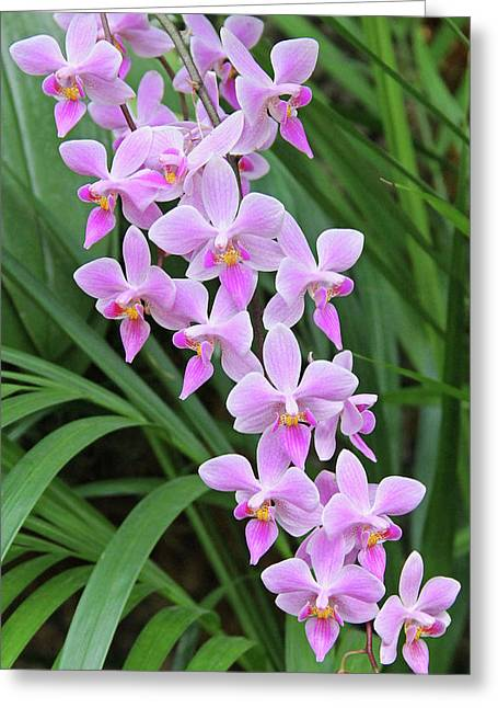 Becky Greeting Cards - Orchids 15 Greeting Card by Becky Lodes