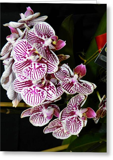 Orchid Show Greeting Cards - Orchids Beauties - F Greeting Card by Wayne Sheeler