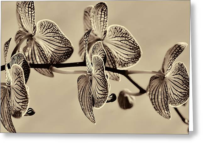 Raw Umber Greeting Cards - Orchids in Raw Umber Greeting Card by Kathy Clark