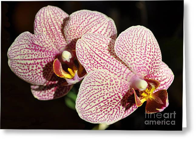 Collecting Flower Bouquets Greeting Cards - Orchids Greeting Card by Luke Moore