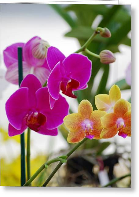 Colorful Orchid Greeting Cards - Orchids Greeting Card by Peter  McIntosh