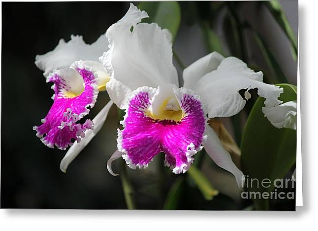 Phalenopsis Greeting Cards - Orchids Greeting Card by Theresa Willingham