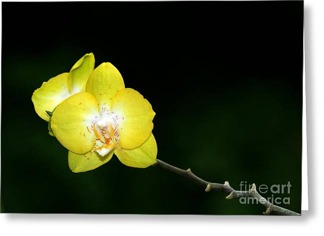 Florida Flowers Greeting Cards - Orchids to the Left Greeting Card by Sabrina L Ryan