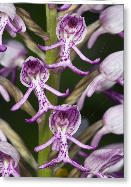 Orchis Greeting Cards - Orchis Militaris X Orchis Simia Greeting Card by Paul Harcourt Davies