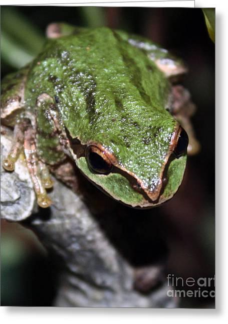 Oregon Wild Life Greeting Cards - Oregon Tree Frog Greeting Card by Nick Gustafson