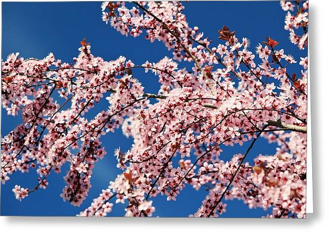 Pink Flower Branch Greeting Cards - Oregon, United States Of America Cherry Greeting Card by Craig Tuttle