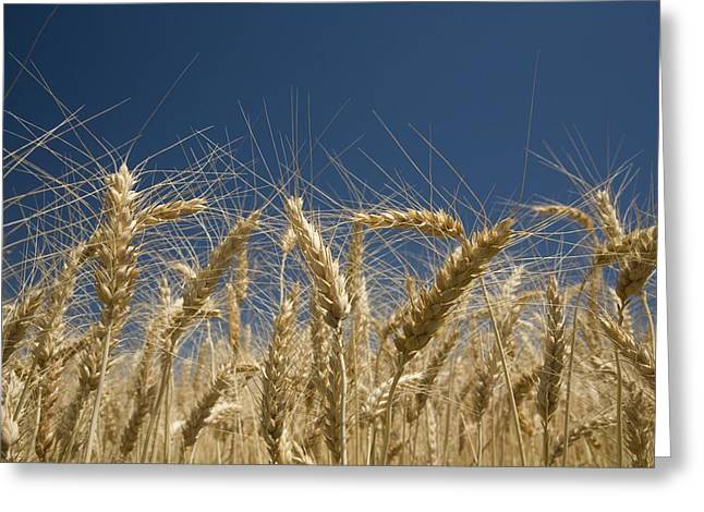 World Of Food Greeting Cards - Oregon, Usa Stalks Of Wheat Greeting Card by Craig Tuttle