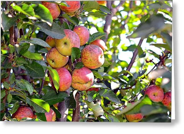 Organic Apples In A Tree Greeting Card by Susan Leggett