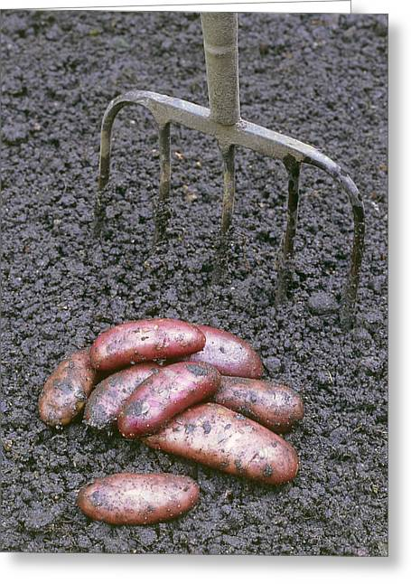 Dirt Pile Greeting Cards - Organic Potatoes Greeting Card by Maxine Adcock