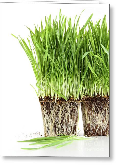 Organic Wheat Grass On White Greeting Card by Sandra Cunningham