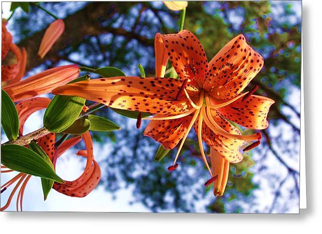 Oriental Tiger Greeting Cards - Oriental Lily 1 Greeting Card by Dave Dresser