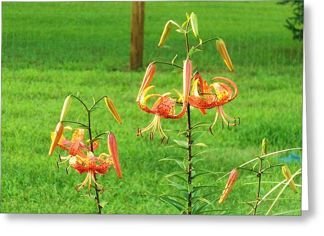 Oriental Tiger Greeting Cards - Oriental Lily 12 Greeting Card by Dave Dresser