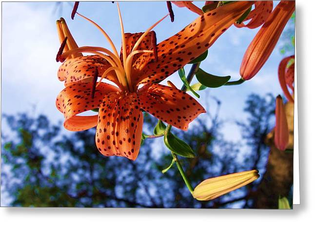 Oriental Tiger Greeting Cards - Oriental Lily 5 Greeting Card by Dave Dresser