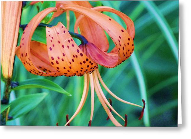 Oriental Tiger Greeting Cards - Oriental Lily 8 Greeting Card by Dave Dresser