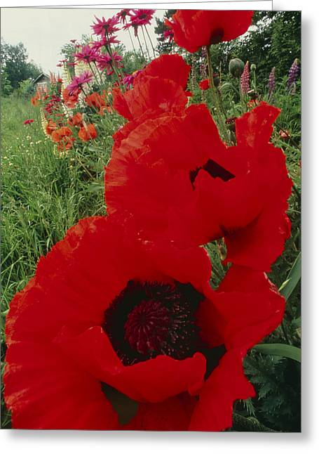 Papaver Orientale Greeting Cards - Oriental Poppy Flowers, Papaver Orientale Greeting Card by David Nunuk