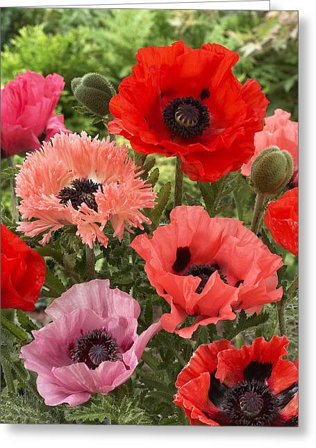 Papaver Orientale Greeting Cards - Oriental Poppy Papaver Orientale Flowers Greeting Card by VisionsPictures