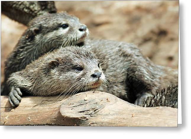Gnawing Greeting Cards - Oriental Small-clawed Otters Greeting Card by Photostock-israel