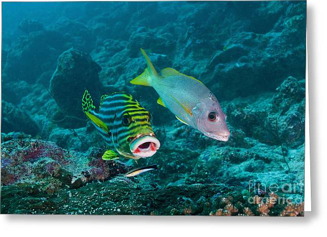 Snapper Greeting Cards - Oriental Sweetlip And Yellow Snapper Greeting Card by Mathieu Meur