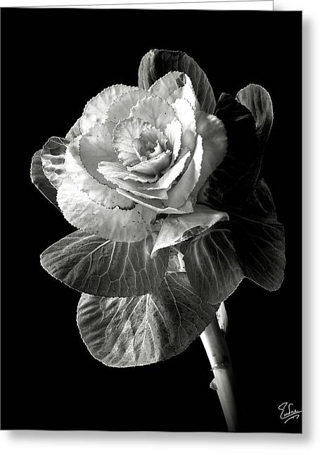 Flower Photos Greeting Cards - Ornamental Kale in Black and White Greeting Card by Endre Balogh