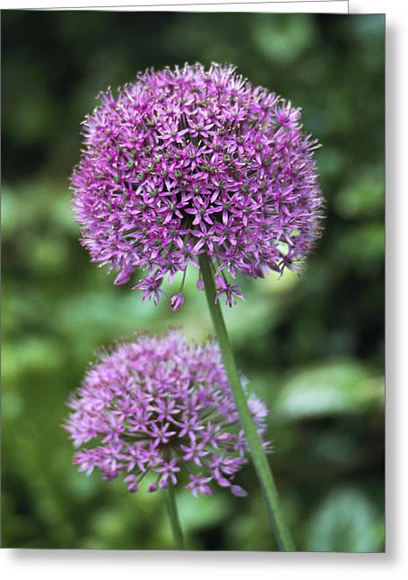 Monocotyledon Greeting Cards - Ornamental Onion (allium Aflatunense) Greeting Card by Archie Young