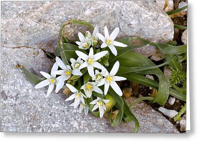 Star Of Bethlehem Greeting Cards - Ornithogalum Montanum Greeting Card by Bob Gibbons