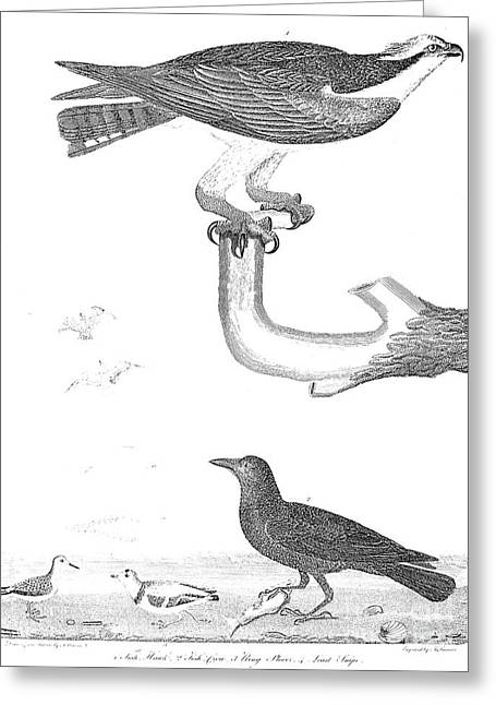 Ornithology, 1808-1814 Greeting Card by Granger