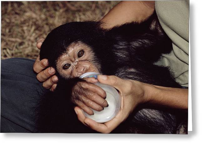 Fed Greeting Cards - Orphaned Chimpanzee Greeting Card by Tony Camacho