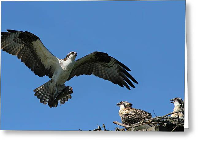 Eys Greeting Cards - Osprey at nest Greeting Card by Mircea Costina Photography