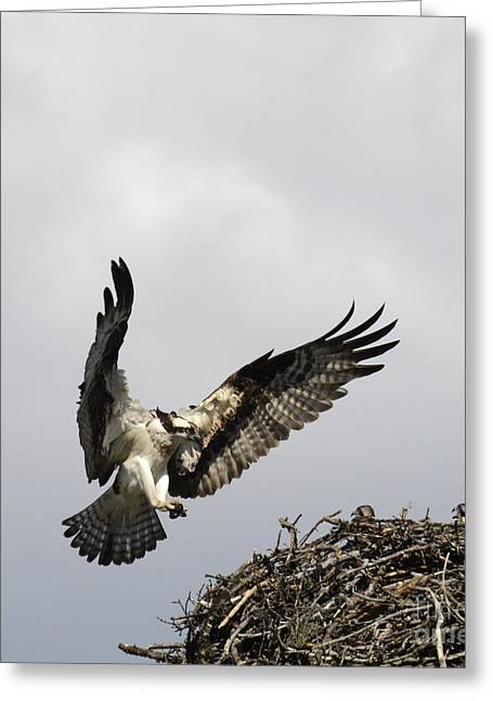 Canada Sports Greeting Cards - Osprey Greeting Card by Bob Christopher
