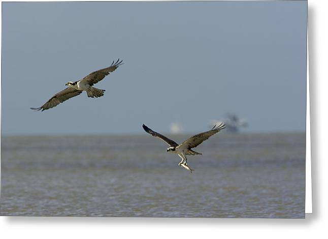 Flying Animal Greeting Cards - Osprey Carrying A Fish Chases Another Greeting Card by Tim Laman
