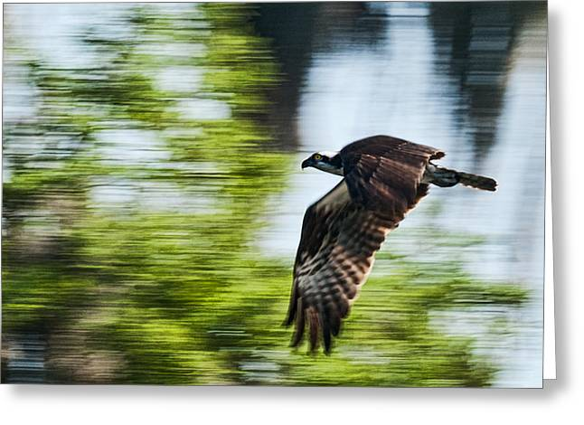 Frank Feliciano Greeting Cards - Osprey in Flight Greeting Card by Frank Feliciano
