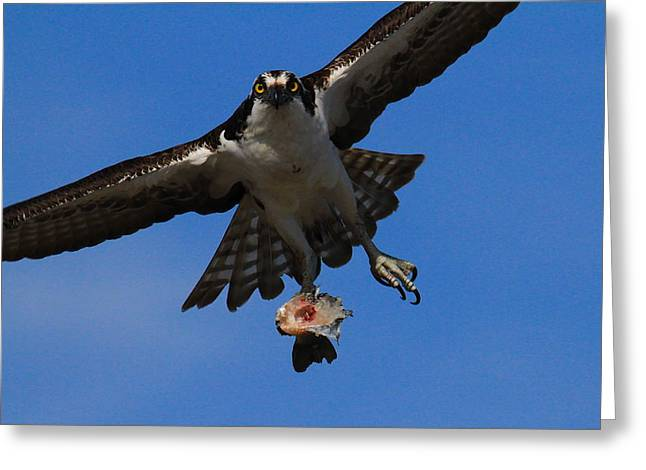 Rainbow Trout Greeting Cards - Osprey in Flight Greeting Card by Paul Marto