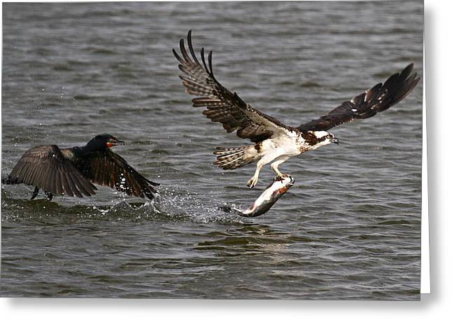 Rainbow Trout Greeting Cards - Osprey on the Run Greeting Card by Paul Marto