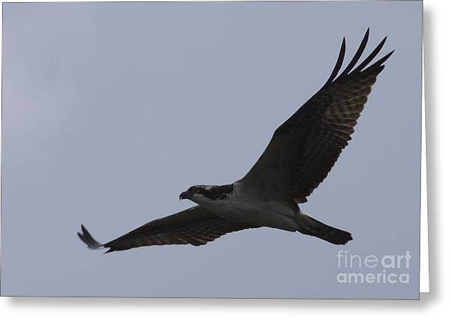 Randolph County Greeting Cards - Osprey On The Tygart Greeting Card by Randy Bodkins