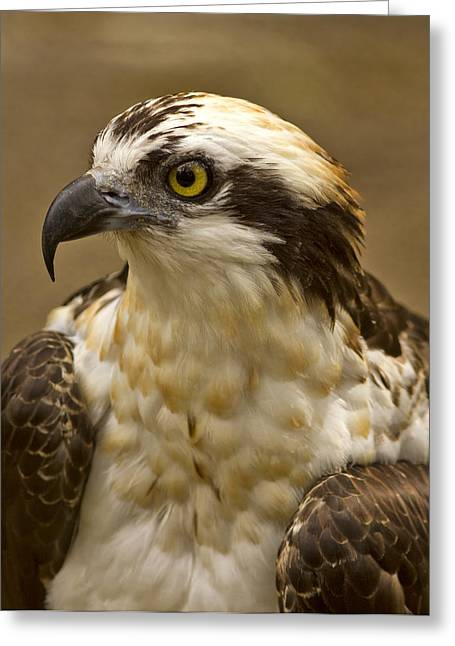Osprey Portrait Greeting Card by Anne Rodkin