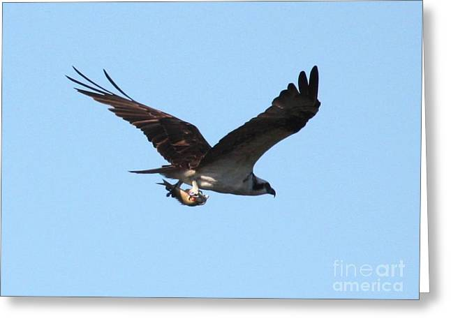 Osprey Photographs Greeting Cards - Osprey with Fish Greeting Card by Carol Groenen