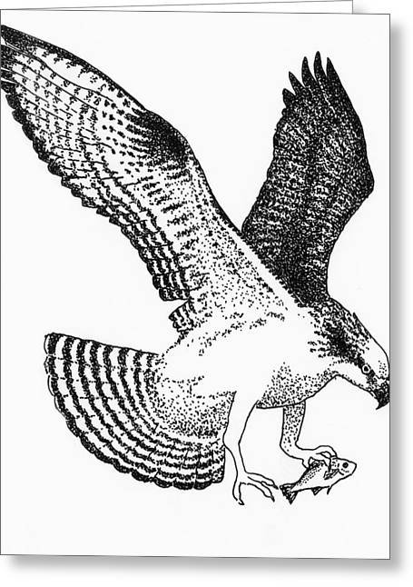 Osprey Drawings Greeting Cards - Osprey with White Perch Greeting Card by Edith Thompson