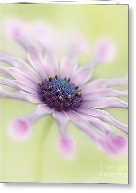 Whirligig Greeting Cards - Osteospermum Whirligig Greeting Card by Martin Williams