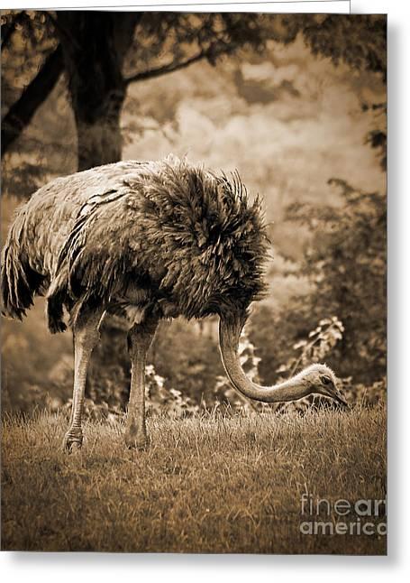 Ostrich Greeting Cards - Ostrich Greeting Card by Arne Hansen