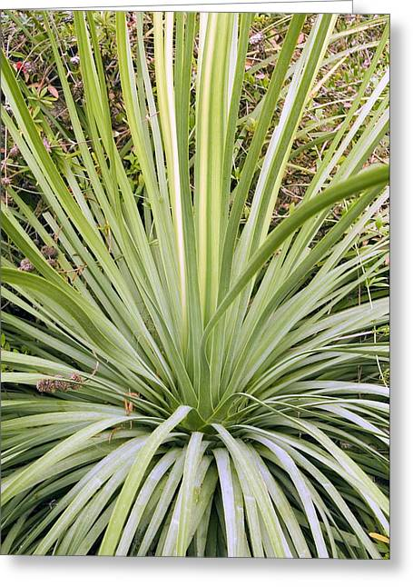Green Foliage Greeting Cards - Our Lords Candle (yucca Whipplei) Greeting Card by Adrian Thomas