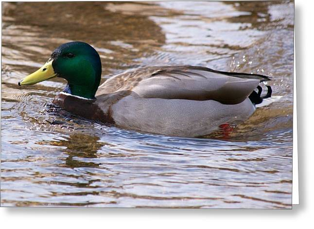 Duck Framed Prints Greeting Cards - Out for a Swim  Greeting Card by Kevin Bone