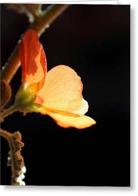 Sphaeralcea Greeting Cards - Out of Darkness Greeting Card by Kume Bryant