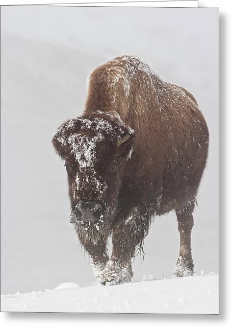 Buffalo Extinction Greeting Cards - Out of the Fog Greeting Card by D Robert Franz